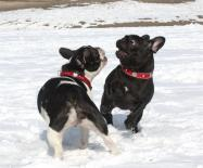 french bulldogs for kennel Vital Way