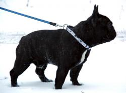 Leibolls Eminence Eugene (French bulldog of kennel Vital Way)
